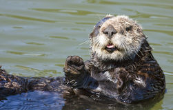 Sea otter face. Sea otter floating on a warm sunny day Royalty Free Stock Photography