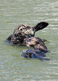 Sea otter family. Sea otter floating on a warm sunny day Royalty Free Stock Photo