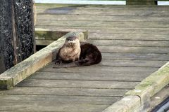 Sea Otter at Fernwood Dock, Salt Spring Island, BC Stock Photos