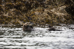 Sea otter floating on the bay in Alaska Royalty Free Stock Images