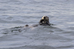Sea otter floating on his back in the water with their Stock Image