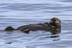 Sea otter floating on his back in the waters Stock Photos