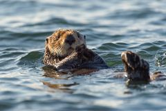 Sea otter floating on its back. A sea otter does the backstroke in Morro Bay on California`s Central Coast royalty free stock photos