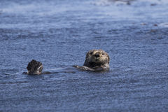 sea otter floating on its back a summer sunny Stock Photos