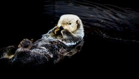 Sea otter floating in the water. In Alaska stock photo