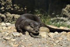 Sea otter, Florida Royalty Free Stock Photo