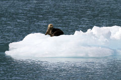 Sea otter on ice berg Royalty Free Stock Photo