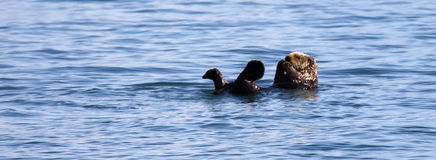 Sea Otter - Kenai Fjords National Park Royalty Free Stock Image