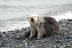 Sea Otter On Land. A sea otter on land in Homer, Alaska Royalty Free Stock Photo
