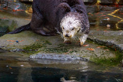 Sea Otter on land Stock Images