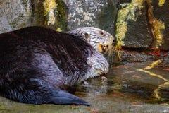 Sea Otter on land Royalty Free Stock Photos