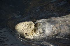 Sea Otter licks an ice cube.  Royalty Free Stock Photography
