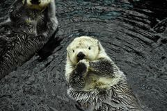 Sea otter. A lovely white sea otter floats on the water freely, with a cute face royalty free stock photo