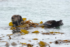 Sea otter male in kelp on a coldy rainy day, big sur, california Stock Photography