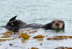 Sea otter male in kelp on a coldy rainy day, big sur, california Royalty Free Stock Photo