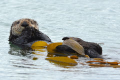 Sea otter male in kelp on a coldy rainy day, big sur, california. Male sea otter is seen cleaning his fur with kelp on a cold rainy day in bug sur, california Royalty Free Stock Photography