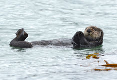 Sea otter male in kelp on a coldy rainy day, big sur, california Stock Image