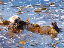 Sea Otter on Monterey Bay Royalty Free Stock Photography