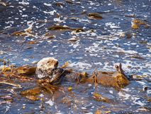 Sea Otter on Monterey Bay Stock Images