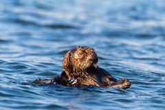 Sea otter in Morro Bay in California Royalty Free Stock Images