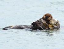 Sea otter mother with adorable baby / infant in the kelp, big su Royalty Free Stock Photo