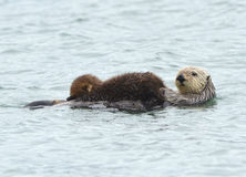 Sea otter mother with adorable baby / infant in the kelp, big su Royalty Free Stock Image