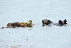 Sea otter mother with baby and male, big sur, california Royalty Free Stock Image