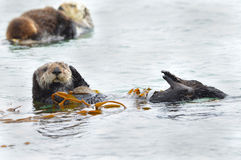 Sea otter mother with baby and male, big sur, california Stock Images
