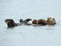 Sea otter mother with baby and male, big sur, california, usa