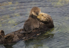 Sea Otter Mother and Pup. A one day old sea otter pup sleeps gets groomed by its mother in Monterey Bay, California Stock Photos