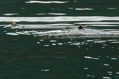 Sea otter in Pacific Ocean. Water area near Kamchatka Peninsula. Royalty Free Stock Photo