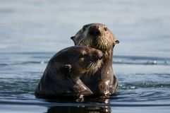 Free Sea Otter Pair Royalty Free Stock Images - 100041339
