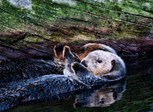 Sea Otter pair Royalty Free Stock Photos