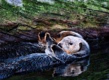 Sea Otter pair Royalty Free Stock Photos