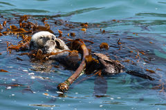 Sea Otter Playing in the Ocean. Sea Otter playing in the Monterey Bay of California royalty free stock photography