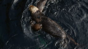 Sea otter plays in water. Video of sea otter plays in water stock video