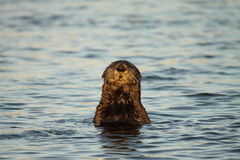 Sea Otter Popping Up. A Sea Otter popping up for a view in the Pacific Ocean Stock Photos