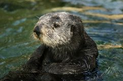 Sea Otter Portrait Stock Image