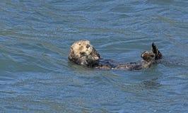 Sea Otter Preening in the Ocean Stock Photo