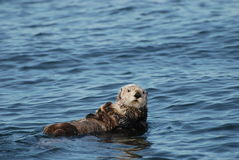 Sea Otter and Pup. A sea otter and her sleeping pup floating in the ocean Stock Photos