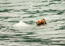 Sea Otter and Pup royalty free stock photos