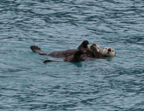 Sea Otter and Pup. A sea otter and her pup resting in the water Stock Photo