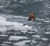 Sea Otter and Pup. Mother sea otter with her pup in the icy Prince William Sound Royalty Free Stock Photography