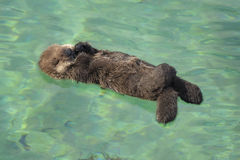 Sea Otter Pup. A one day old sea otter pup sleeps in a shallow tide pool in Monterey Bay, California Stock Photos