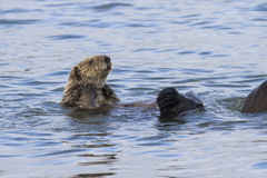 Sea otter raised his head above the water a winter sunny day at Royalty Free Stock Images