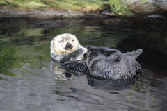 Sea otter. Relaxing in water royalty free stock photography