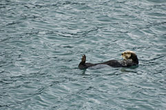 Sea otter in Reserection Bay  Royalty Free Stock Photo