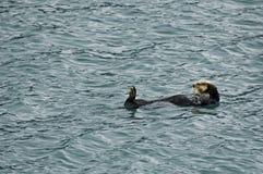 Sea otter in Reserection Bay. A sea otter takes a break and floats on it's back in Resurrection Bay in Kenai Fjords National Park near Seward Alaska royalty free stock photo