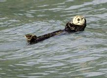 Sea otter in Resurrection Bay royalty free stock photo
