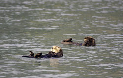 Sea otter in Resurrection Bay Stock Image